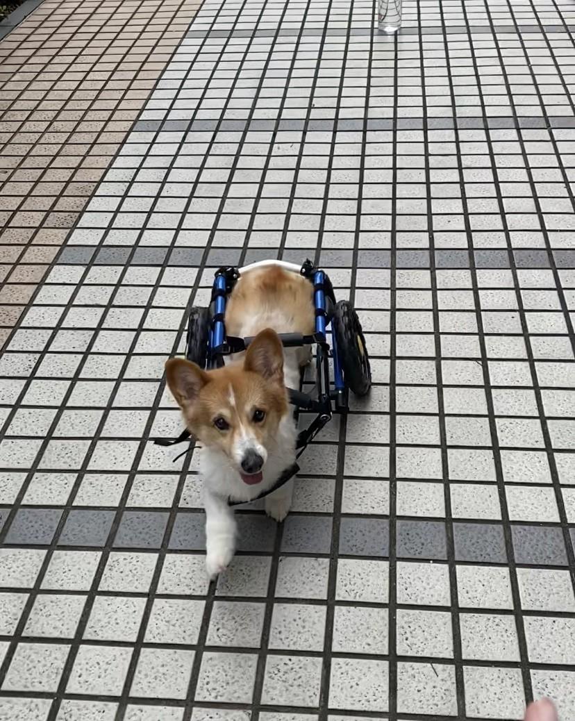 領養狗-將將