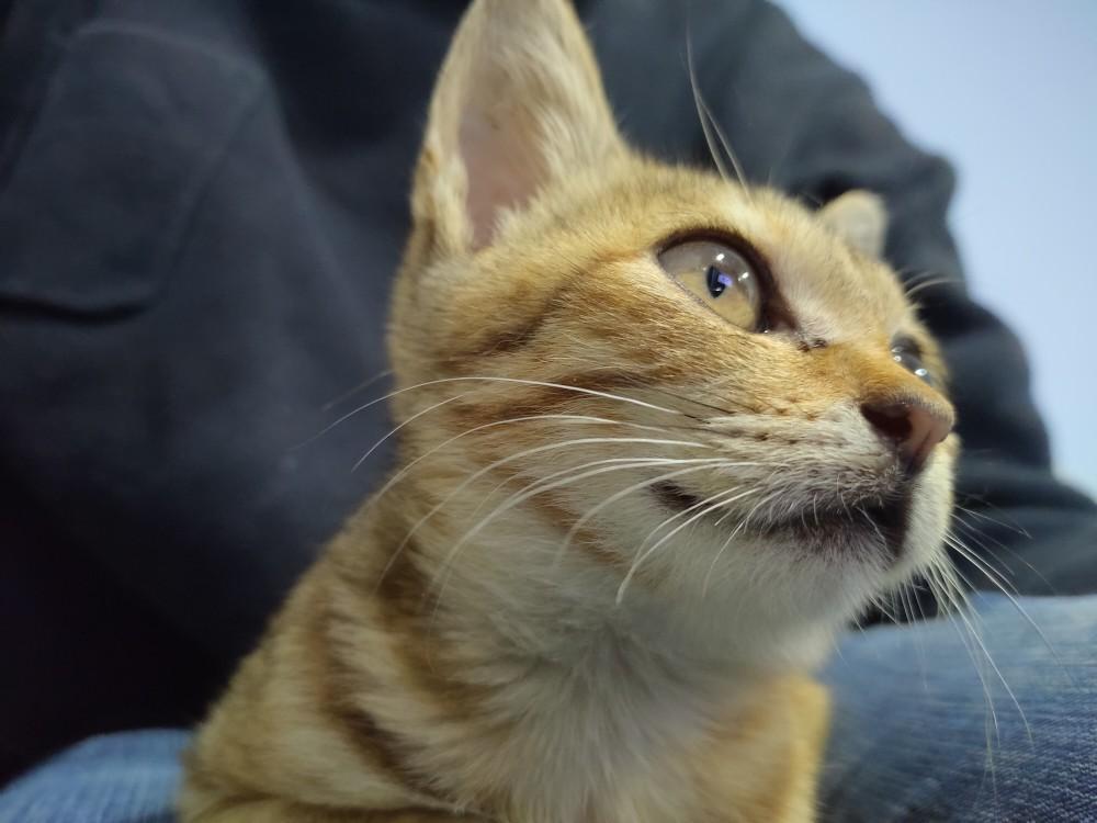 領養貓-布布