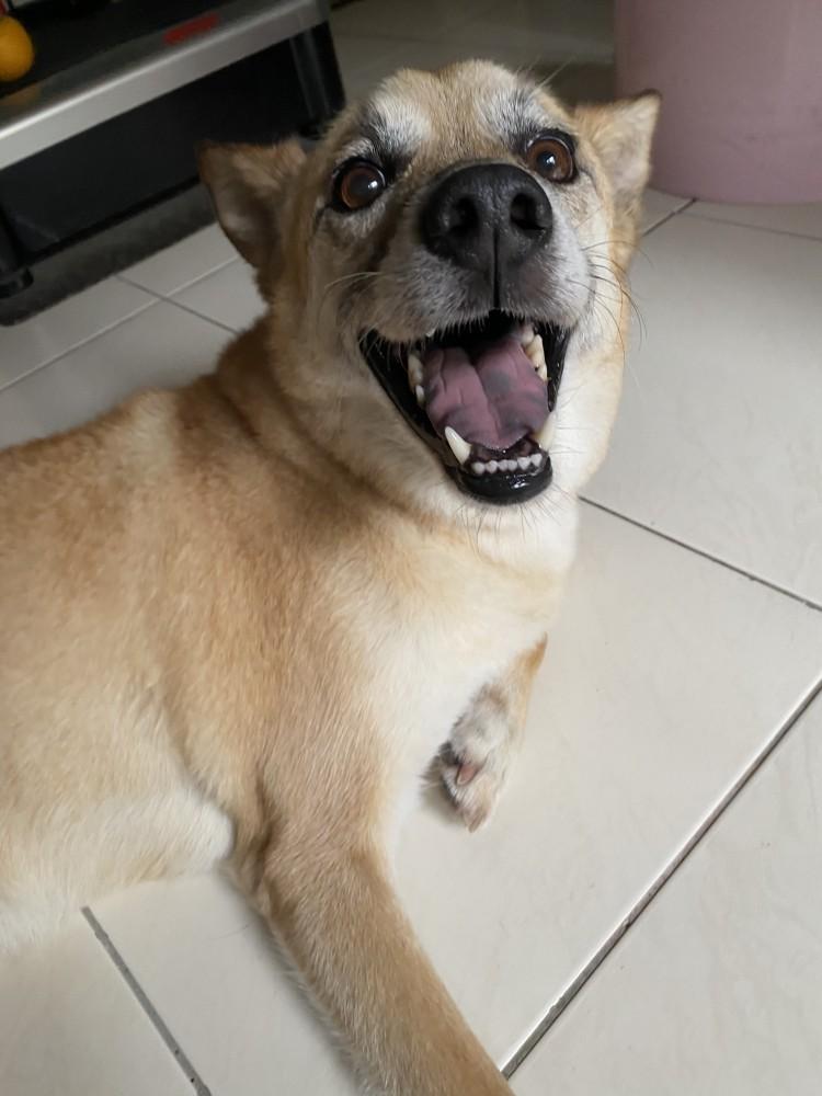 領養狗-老皮
