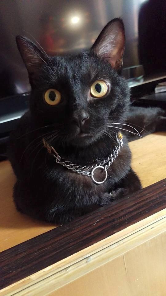 領養貓-阿寶