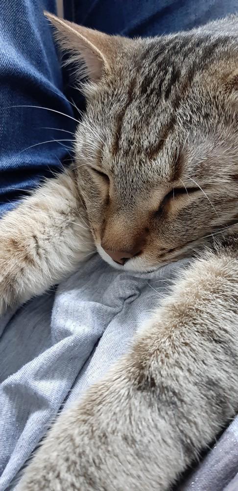 領養貓-皮皮