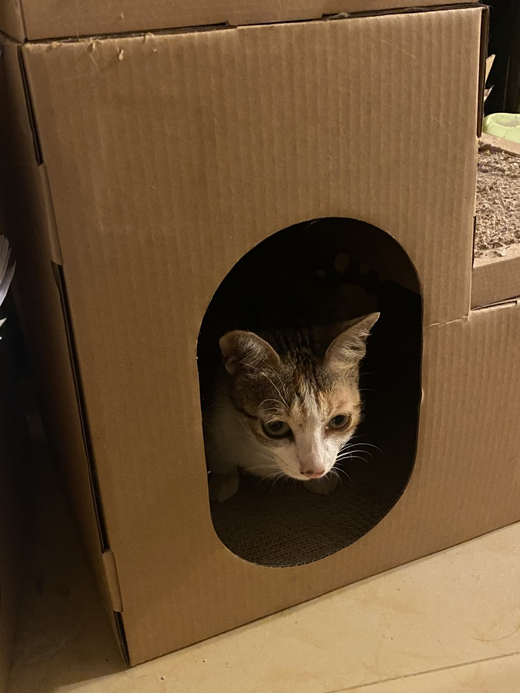 領養貓-三花貓