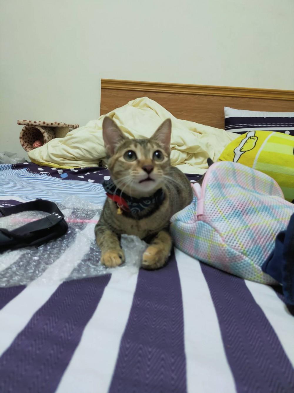 領養貓-黑糖