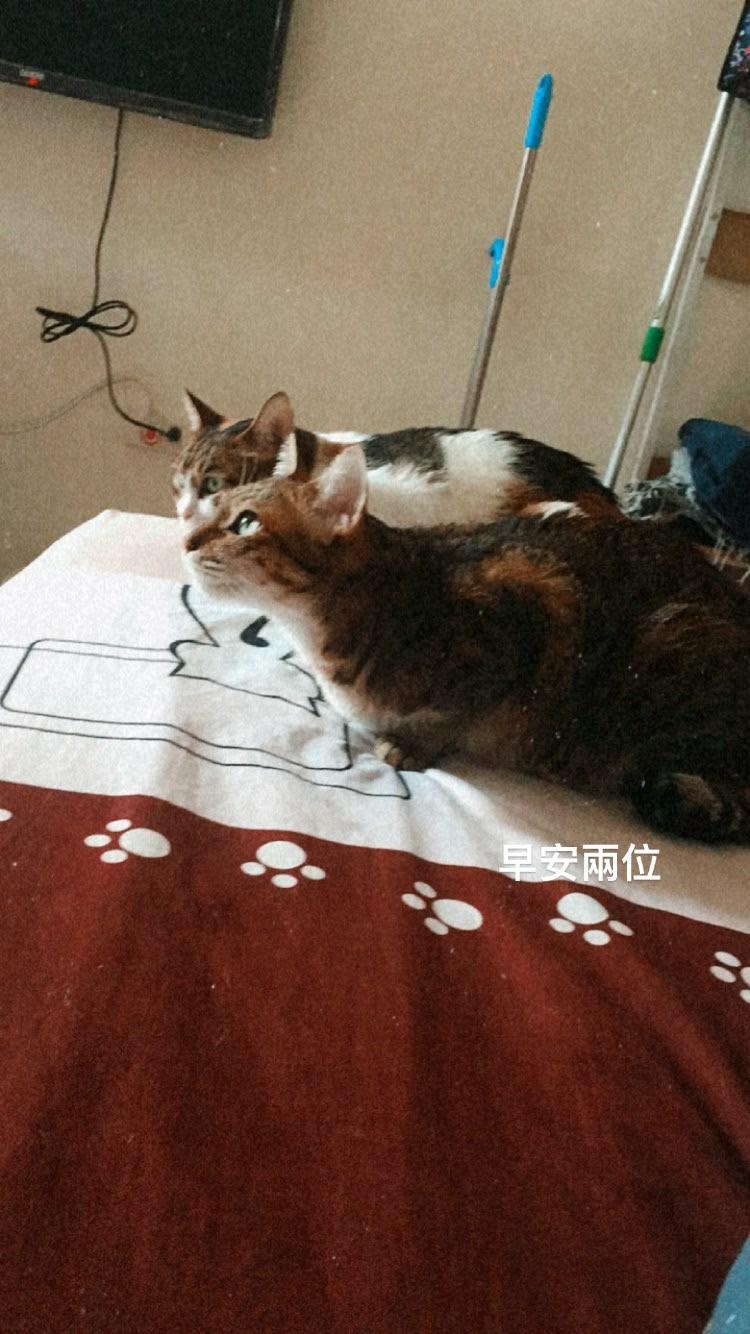 領養貓-豆漿(豆ㄉㄠˇ豆ㄉㄠˇ)