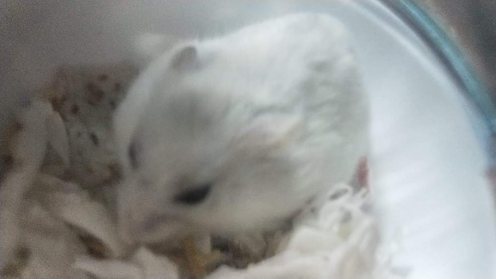 領養鼠-小白點
