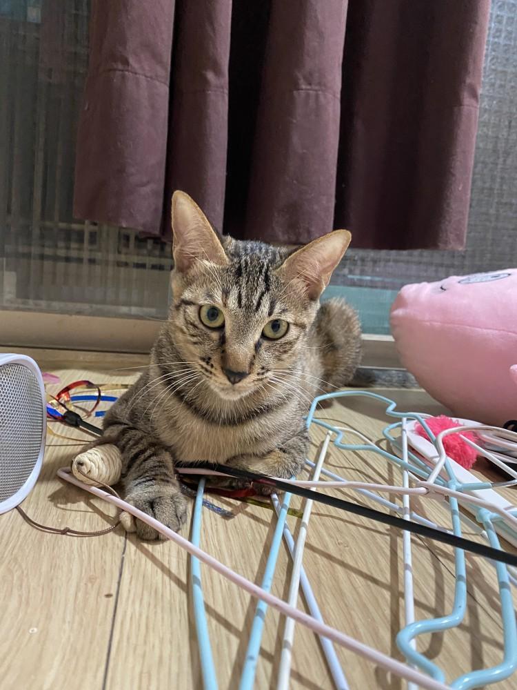 領養貓-coco