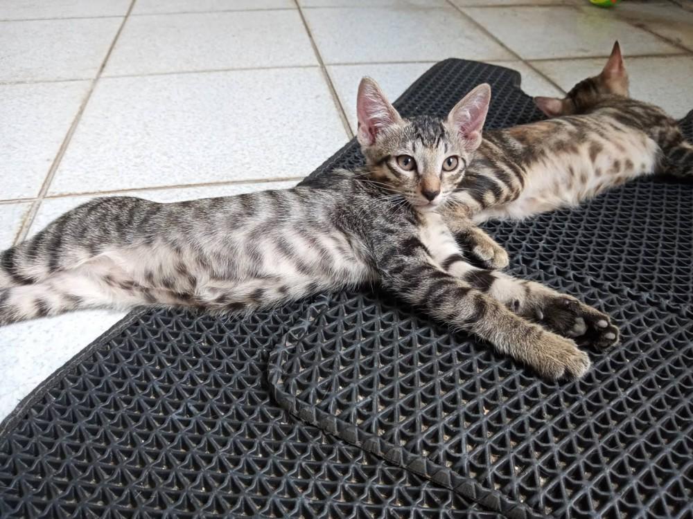 領養貓-灰灰