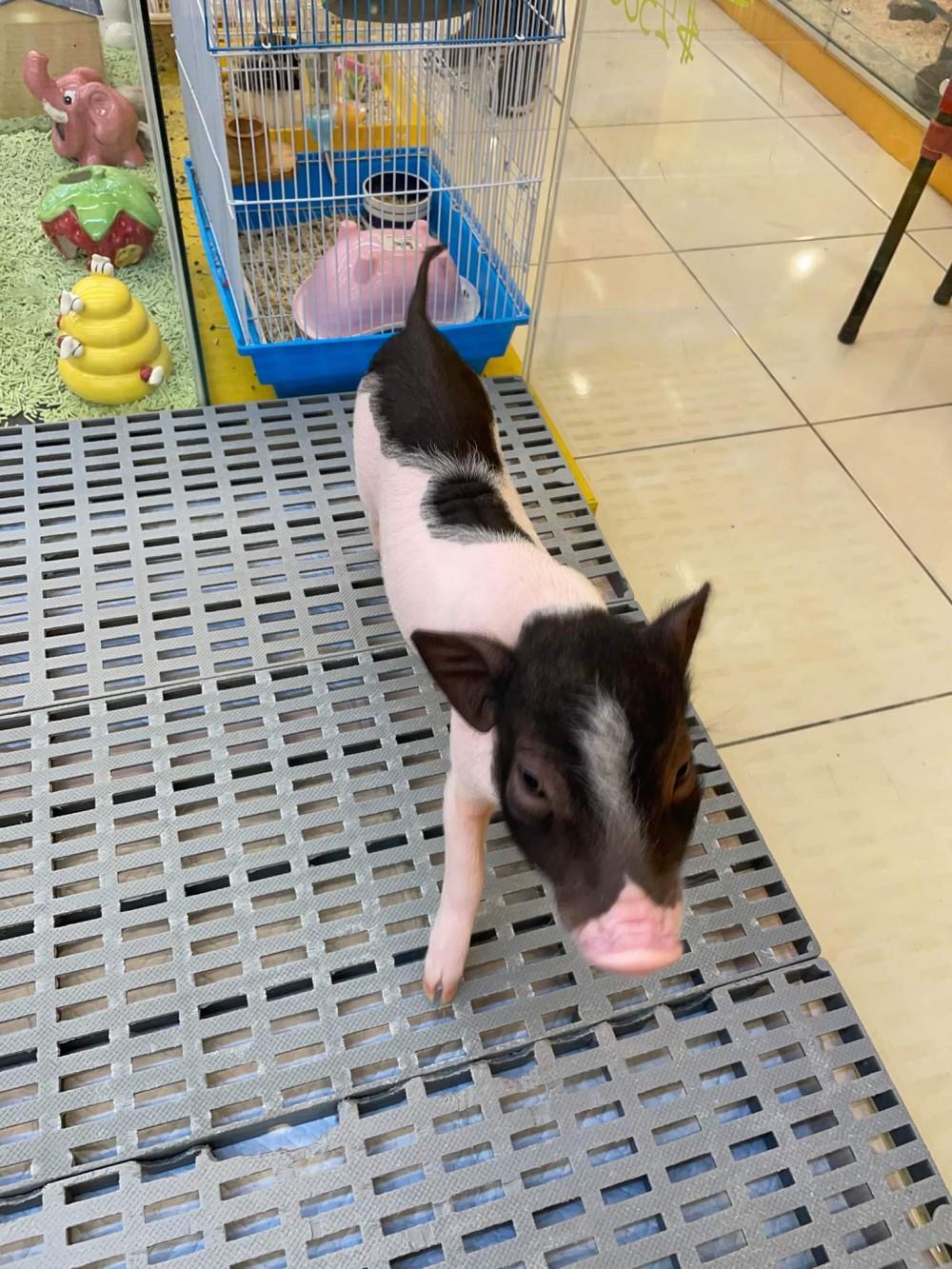 領養豬-肉包