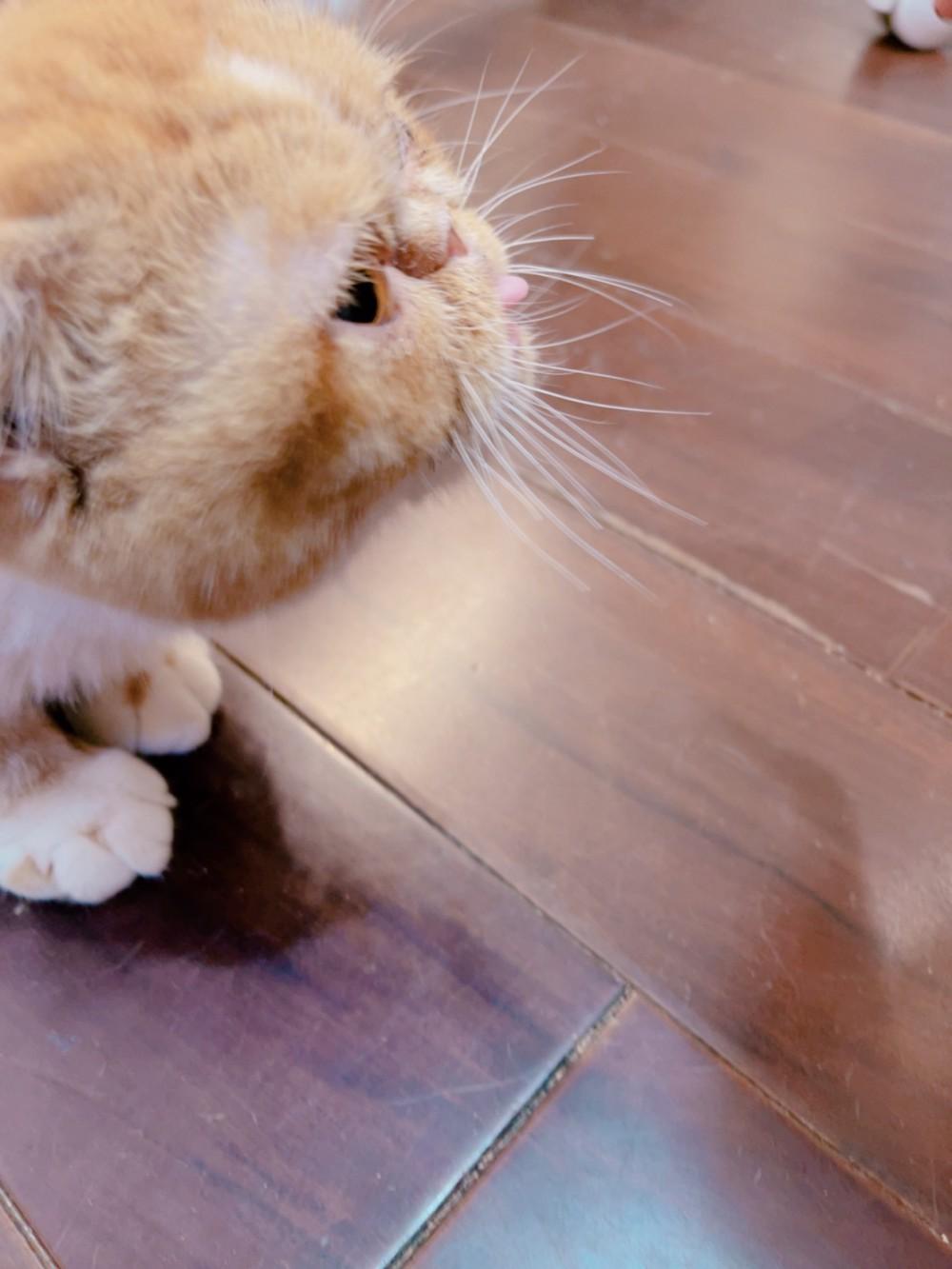 領養貓-小麻糬
