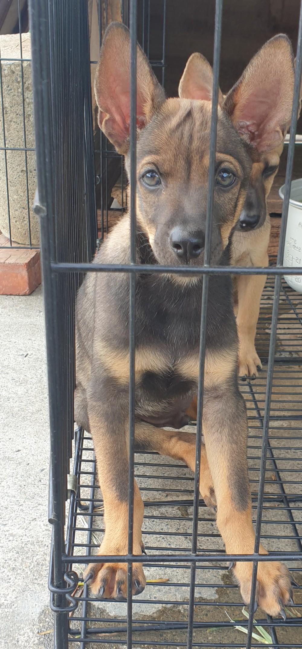 領養狗-二個月犬