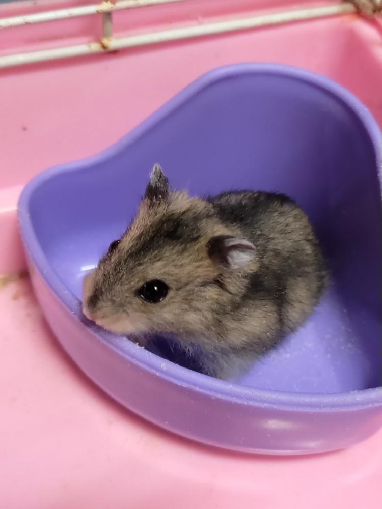 領養鼠-未取名