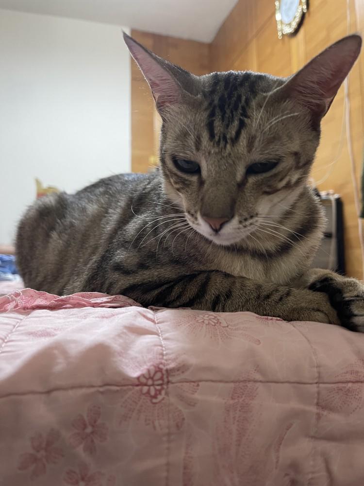 領養貓-依依