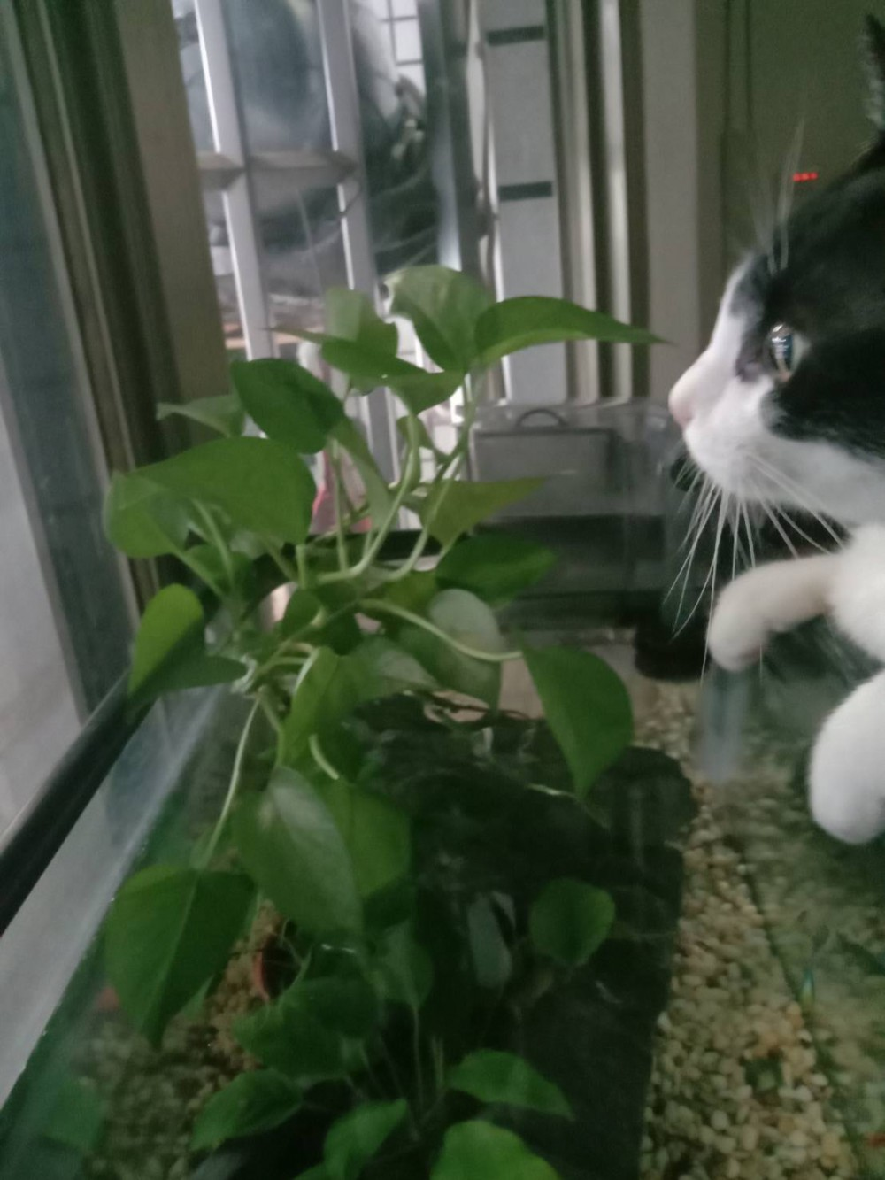 領養貓-Uli
