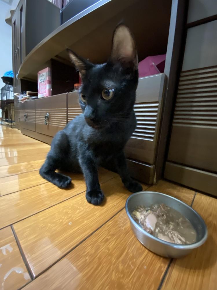領養貓-多莉