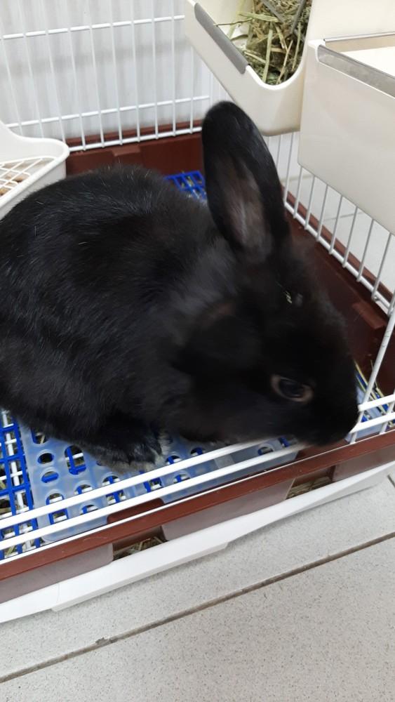 領養兔-黑珍珠