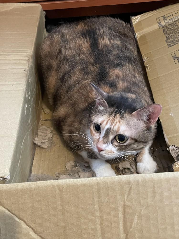 領養貓-豆油