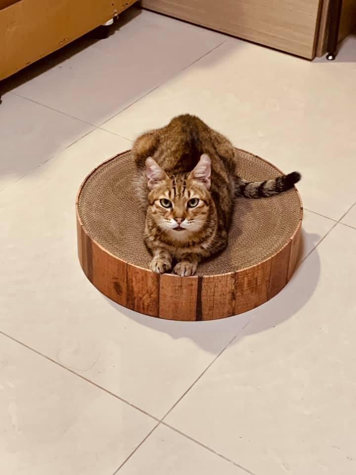 領養貓-福氣