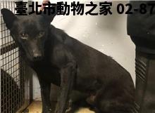 領養中型黑色公犬